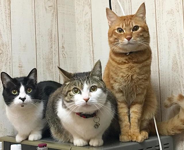 りんご猫シャイロくんと仲間の猫たち